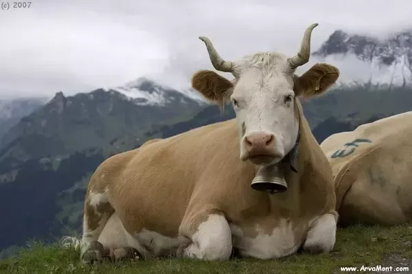 Why Do Cows Wear Bells In India Quora