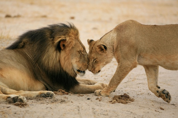 Why Do Male Lions Back Off When The Lionesses Try To Attack Them