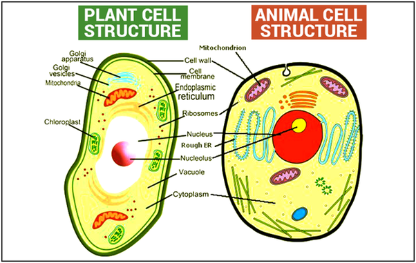 what are the main differences between plant and animal cells? quora