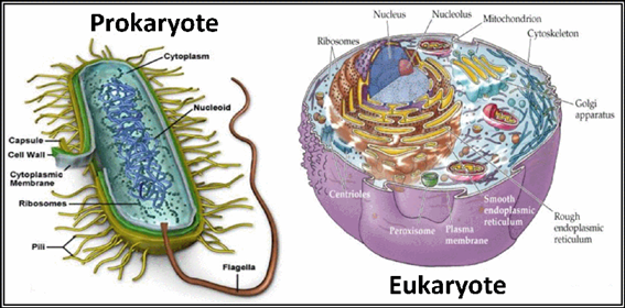 what are some characteristics of eukaryotic cells