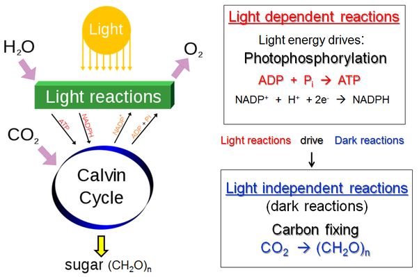 photosynthesis processes major cycle calvin carried main carbon dioxide structure