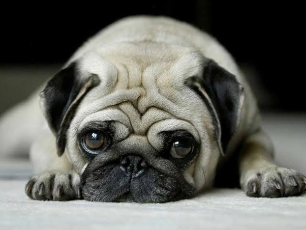 What Is The Cost Of A Baby Pug In India Quora