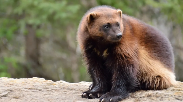Which Animal Would Win In A Battle Between A Wolverine And A Honey Badger Quora