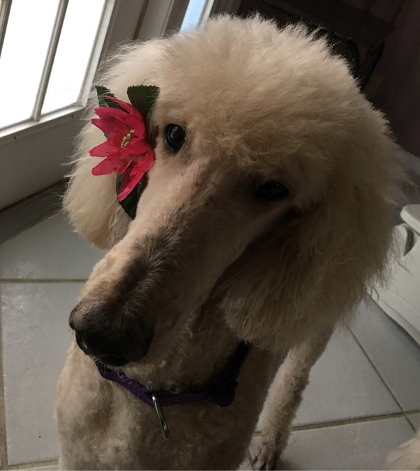 What Is The Life Expectancy Of A Standard Poodle Quora