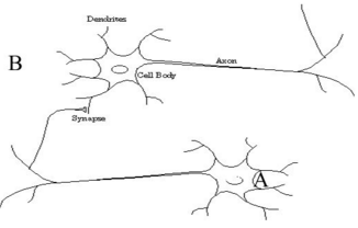 How does a neuron decide which neurons to connect to quora activity dependent regulation of neuronal connection ccuart Choice Image
