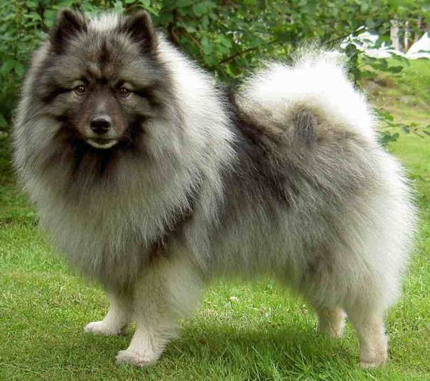 pomeranian chow what does chow pomeranian cross look like quora 8104