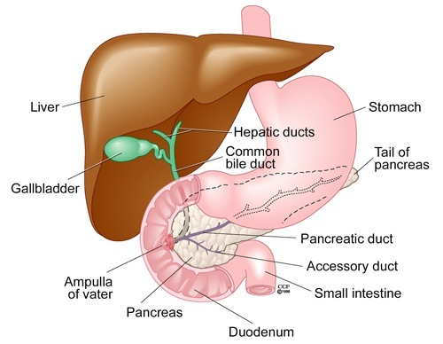 How does the bile come into the small intestine? - Quora