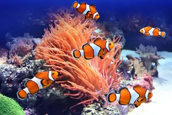 How can a clown fish live in a freshwater environment quora for What do clown fish eat