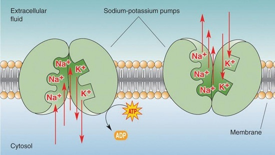 Whats The Difference Between Ion Channels And Ion Pumps Quora