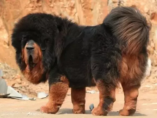 Giant Mountain Dogs For Sale