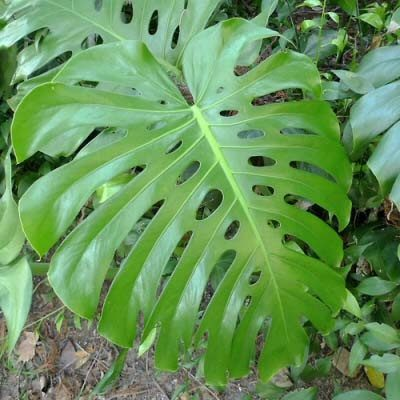 What Plant Has Huge Leaves With Splits On Them Quora