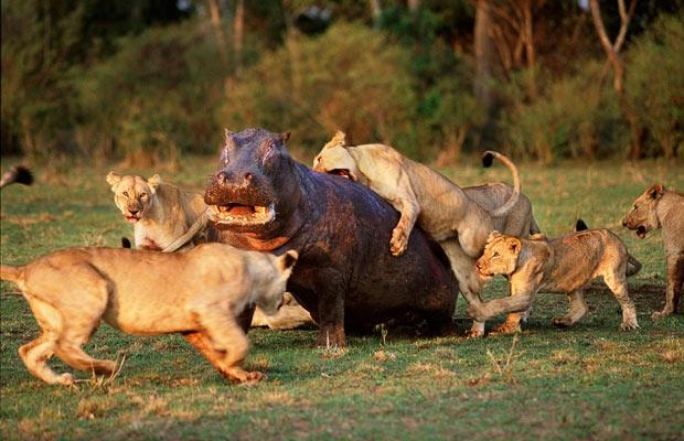 Can a lion kill a hippo? - Quora