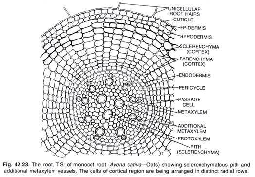 What Is The Difference Between Monocot And Dicot Roots Quora