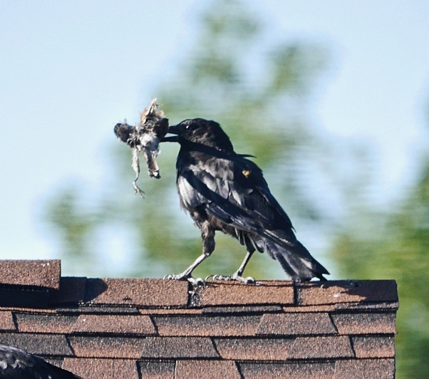 what is a crows diet