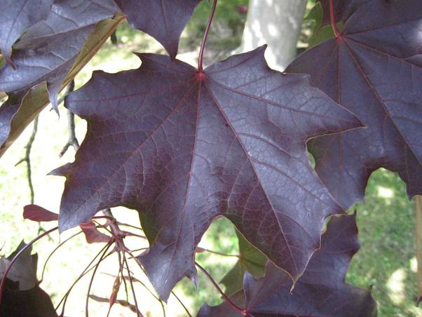 What Maple Tree Has Dark Red Purple Leaves Year Round Quora