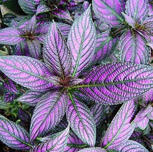 What Plants Have Purple Leaves Quora