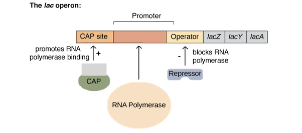What Is The Structure Of Lac Operon Quora