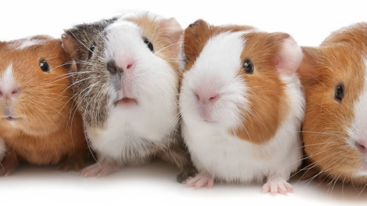 How to care for guinea pigs - Quora